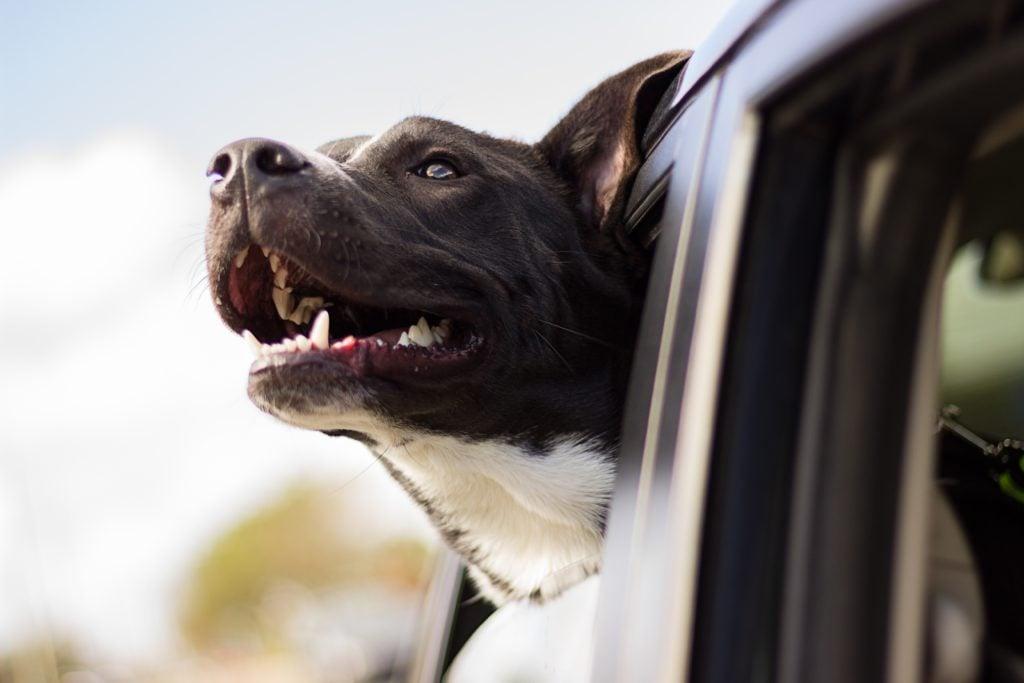 Road Trip Songs PaulCamper Hund
