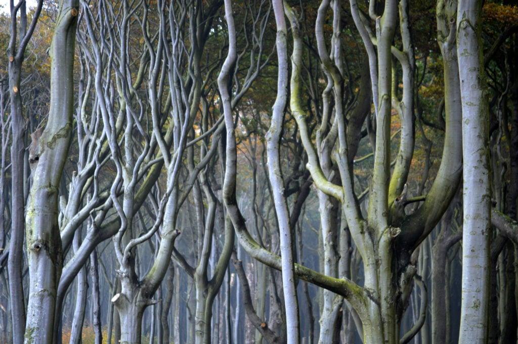 Wald aus Krummholz