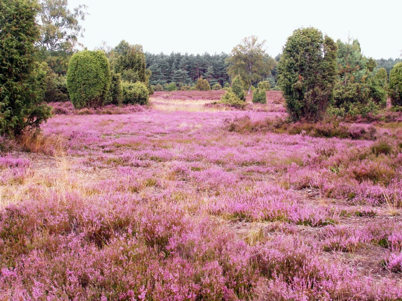 In der Lüneburger Heide gibt es viel Lavendel