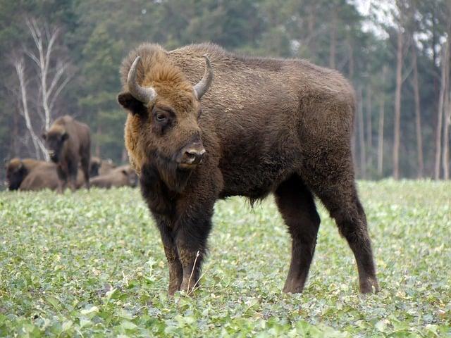 europese bizon wisent polen