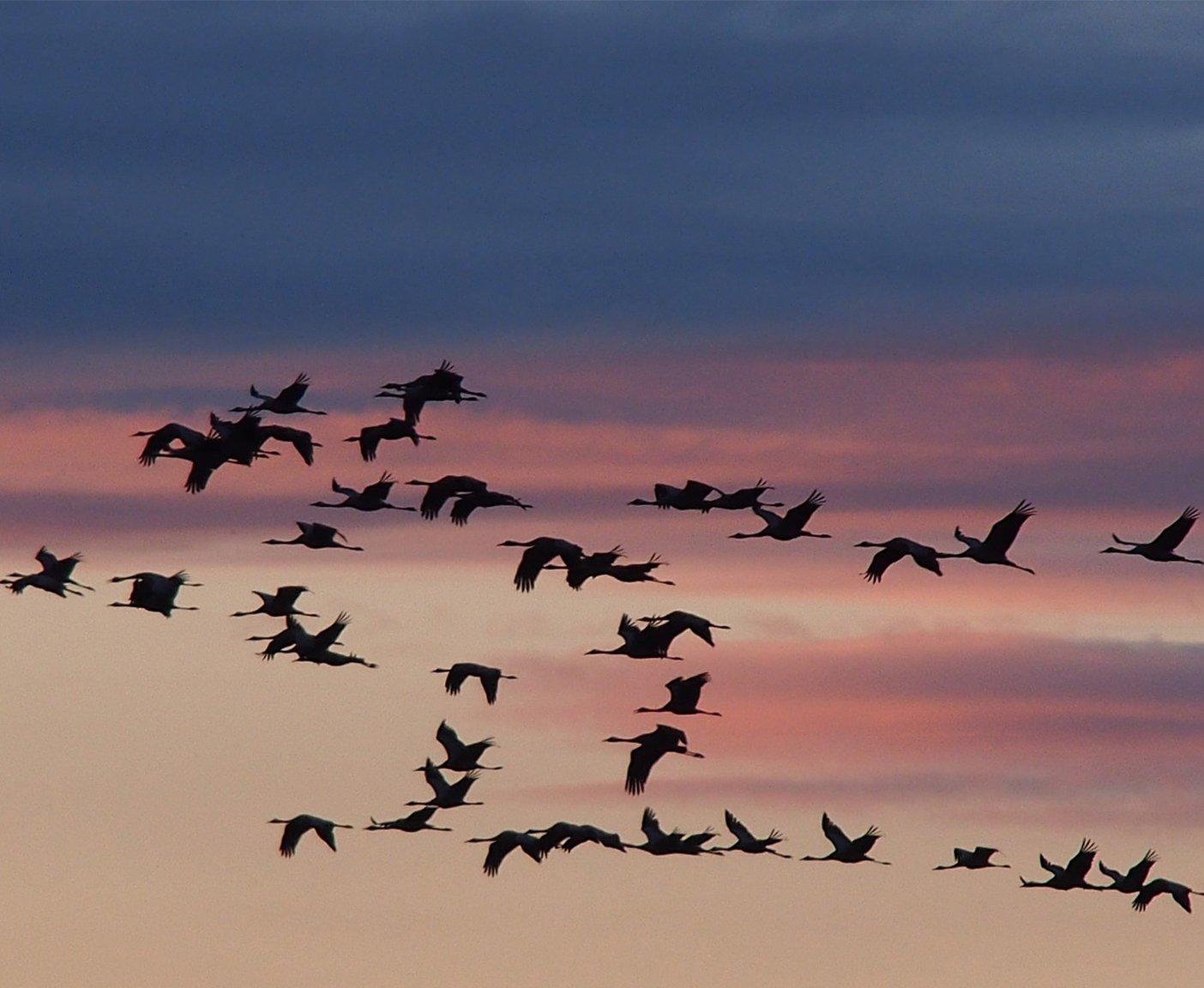 Kraniche, lucht, Zingst, vogels, zwerm