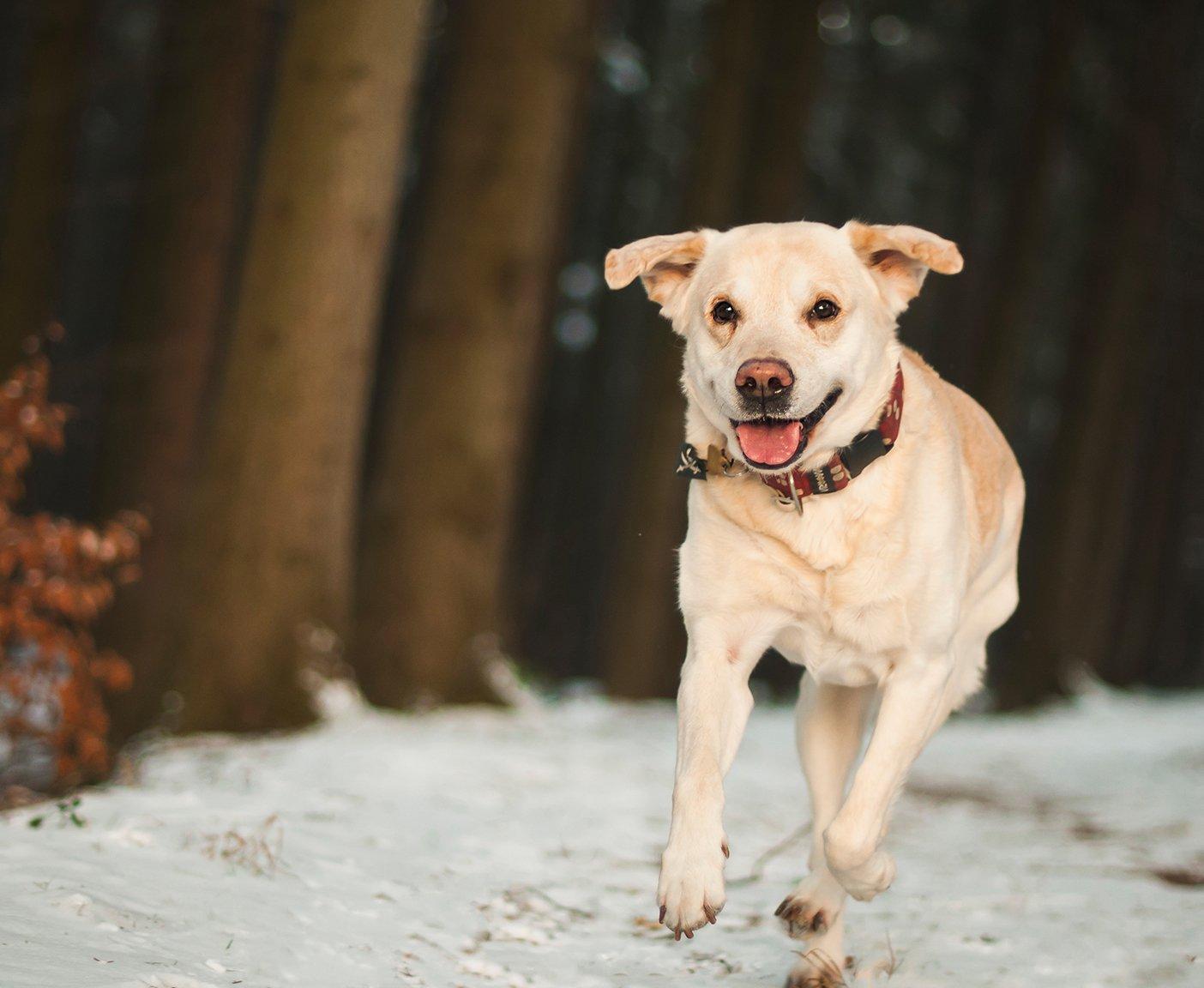Hund rennend im Schnee mit Leine