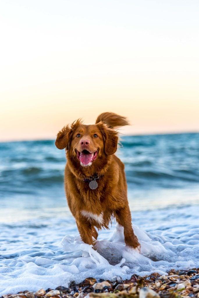 Hundestrände - Hund rennt am Strand